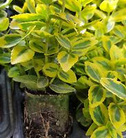 HEDGING 6 X Euonymus Fortunei Emerald n Gold Shrub Jumbo plug plant