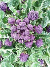 Purple Sprouting Broccoli 100 Seeds