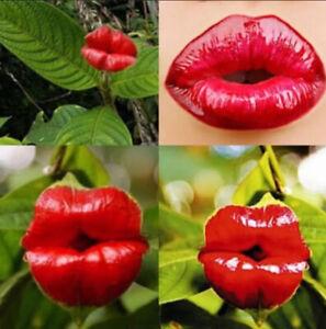 Lip Sexy Red 50 Pcs Seeds Flowers Garden Park Yard Plant Psychotria Elata Rare I