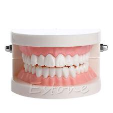 New Dental Teaching Study Adult Standard Typodont Demonstration Teeth Model