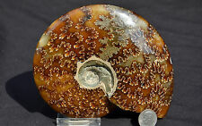 "Fossil WHOLE Ammonite Nice Suture Pattern LARGE 5.1"" 110myo Dino Fossil e2226x"