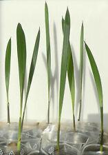 Jubaea chilensis palme pianta Cile miele Palma inverno 20-30cm -20 ° C