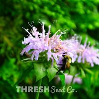 Native Wildflower - Wild Bergamot (Bee Balm) - 250 Seeds + Free Gift