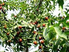 chin. Dattelbaum Samen / Winterharte exot. Obstbäume Pflanzen f. d. Wintergarten