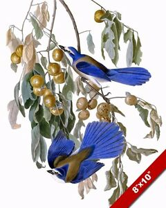 FLORIDA BLUE JAY BIRDS JOHN JAMES AUDUBON BIRD PAINTING REAL CANVAS ART PRINT