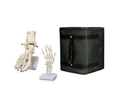 Parco Scientific Human Foot Skeleton Model on Base and Human Hand Skeleton Model