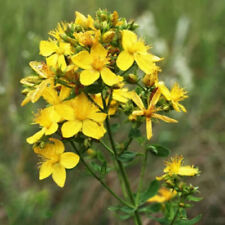 1500 Great Saint St Johns Wort Yellow Flower Seeds Gift