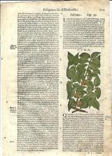 Stampa antica ERBARIO MATTIOLI MATTHIOLI OLMO Ulmus 1580 Old antique print
