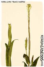 Arabis glabra 'Tower Mustard' 1000+ Seeds RARE WILD FLOWER!