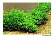 Live Aquarium Plants /  Moss / Easy / Uk Seller / Buy 3 get 1 FREE