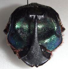 Scarabaeidae Coprophanaeus ensifer 42.7mm Paraguay #DU-6 Dung Beetle Heliocopris
