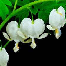 20 Seeds White Sweet Heart Flower Seeds Dicentra Spectabilis Plant Garden