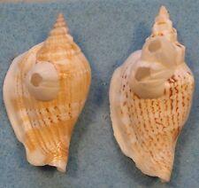 Strombus Variabilis 2 Shells with Barnacles 52+58mm Don Island Cebu,Philippines