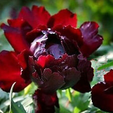 Queen Consort Peony 20 Seeds Chinese Peony Seeds Natural Rare Beautiful Plant