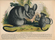 Chinchilla 1842 hand colored engraving Society for Promoting Christian Knowledge
