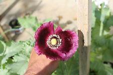 Organic Laurens Grape Poppy Flower Seeds Papaver Somniferum Seeds 500+ Seeds