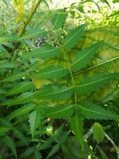 20 Naturally dried neem leaves with stems
