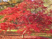 ACER PALMATUM 20 SEEDS- One of the best Red Japanese Maples