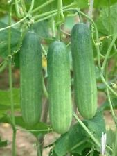 Ungarische Salatgurke, salad cucumber, knackige Bauernsalate, 10 Samen, 10 seeds