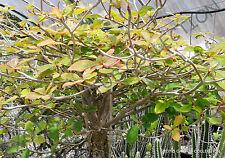 EUPHORBIA BONGOLAVENSIS exotic rare succulent cactus cacti plant seed  -5 SEEDS