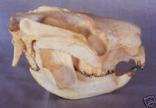 Koala Skull REPLICA