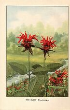 "1926 Vintage WILD FLOWER ""BEE BALM"" GORGEOUS COLOR Art Print Lithograph"