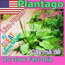 Plantain Leaf Herb Mã đề Plantago Major Psyllium 車前子 Chē qián zi Ma De 3 Plants