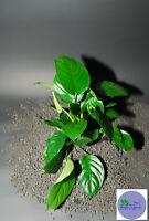 "ANUBIAS BARTERI ""BROAD LEAF""-Freshwater Aquatic Live Plants"