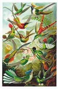 1 New Trochilidae ( Hummingbirds  NX1 EXOTIC MAGNIFICENT NATURA  HibiscusExpress