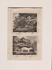 Buffon Antiguo montado impresión c.1800 - grabado-Pino Marten, Stoat, Comadreja