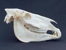 Schädel vom Steppenzebra Zebraschädel zebra skull echter Tierschädel neu #3