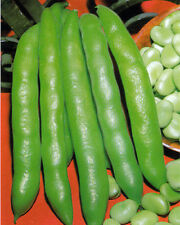 VEGETABLE BROAD BEAN  GRANO VIOLETTO  75GM  APPROX 50-65 SEEDS  WINTER HARDY