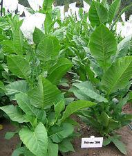 Tabaksamen Habano 2000 Samen Zigarren Tabak