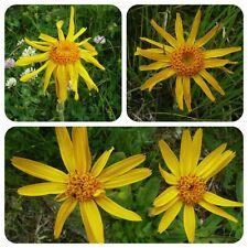Arnica Arnica Montana vera montagna Arnica montagna Benessere noleggio Heil pianta pianta magica