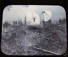Glass Magic lantern slide A PAIR OF SWANS NEAR NEST C1900 BIRD ORNITHOLOGY