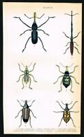 1835 Beetles, Long-Snouted Weevil, Coleoptera, Hand-Colored Antique Print