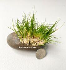 New listing *Buy 2 Get 1 Free* Dwarf Hair Grass Eleocharis Parvula Clumps Aquarium Plants ✅