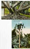 Bermuda 2 Unused Postcards Circa 1910 Great Rubber Tree & Papaw Tree VF Scarce