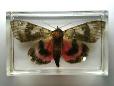 SLEEPY UNDERWING / CATOCALA CONCUMBENS MOTH EMBEDDED IN RESIN