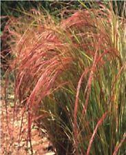 Ornamental Grass - Stipa arundinacea - 100 Seed