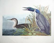 Great Northern Diver Loon 62 Paper Art Print  by J.J. Audubon Unframed Poster