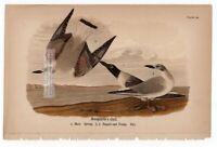 Bonapartes Gull Original 1890 Warren Sea Shore Bird Chromolithograph
