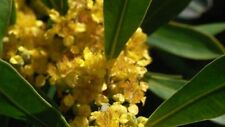 WATER GUM/KANOOKA – TRISTANIOPSIS LAURINA – STATELY FLOWERING TREE