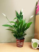 Peace Lily @ Metallic Interweave Line Style Pot Spathiphyllum House Office Plant