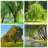 Salix Babylonica Giant Tree Willow Bonsai Green Plants 100 PCS Seeds 2019 Rare N