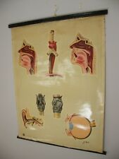 More details for a large st johns ambulance ear nose throat anatomical poster 1940