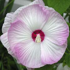 12 Samen Riesen-Hibiskus - Hibiscus moscheutos - Blüten bis zu 25 cm - seeds
