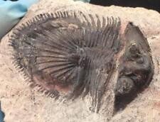 RUSTY THYSANOPELTIS TRILOBITE FOSSIL FROM MOROCCO (S6)