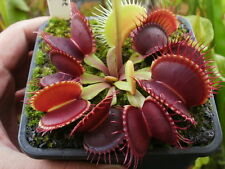 Bonsai Venus Fly trap (Dionaea Muscipula) carnivorous plant 25 Seeds Packet