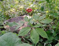 Kaum einer kennt die Koreanische Ginseng-Pflanze, aber die heilkräftige Wurzel.